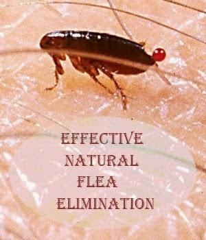 Effective Natural Flea Elimination