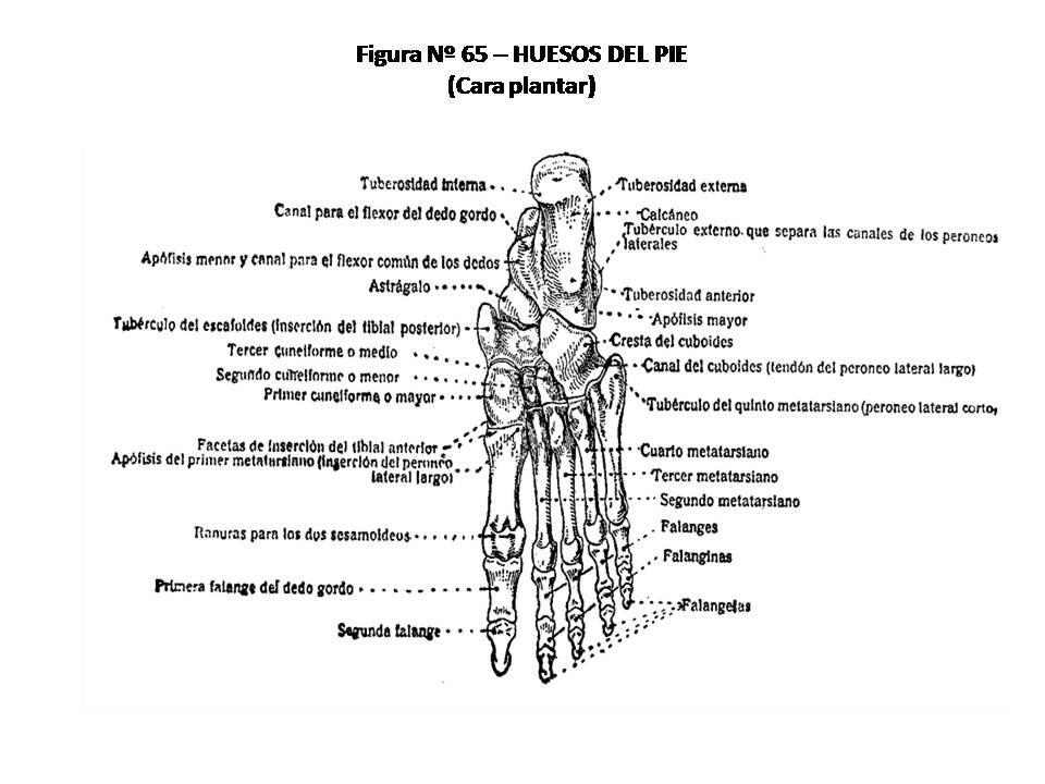 ATLAS DE ANATOMÍA HUMANA: 65. HUESOS DEL PIE, CARA PLANTAR.