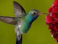 vuelo del colibrí