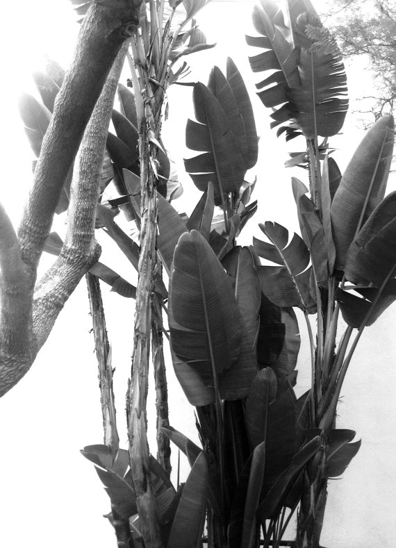 Desert Palms Black and White Photography by BeelineStudio