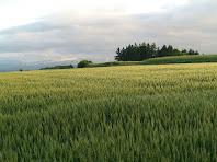 Camps de blat de moro al Pla de la Sauleda