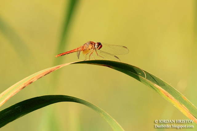Sympetrum fonscolombii photography