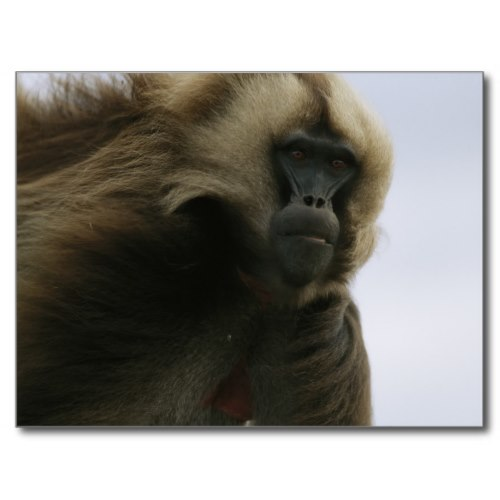 Male Gelada Baboon | Striking Wildlife Photo Postcard