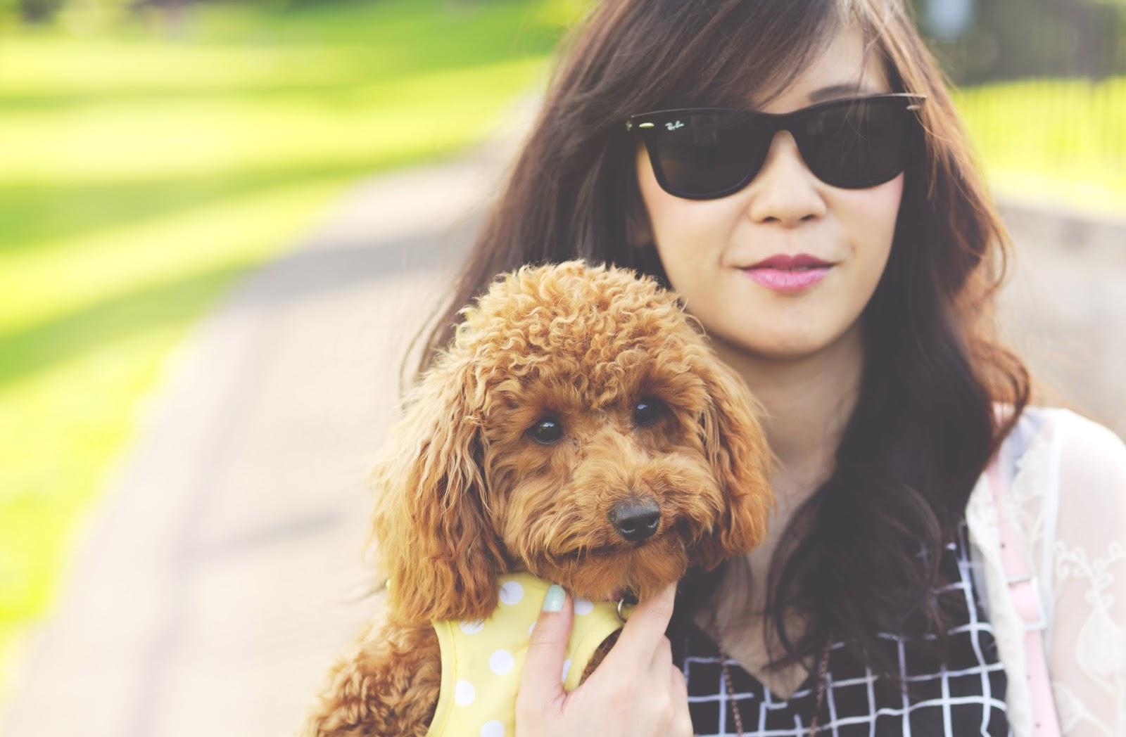 apricot poodle, miniature poodle, miniature poodle haircut