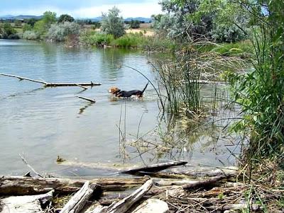 Beagle wadding in a hidden lake in Boulder, Colorado