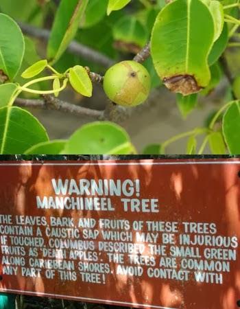 Pokok Manchineel Paling Beracun Di Dunia