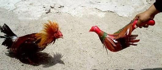 Ver Fotos de Gallos de Pelea del Mundo - Home