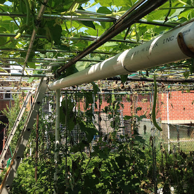 vườn rau xứ người toronto
