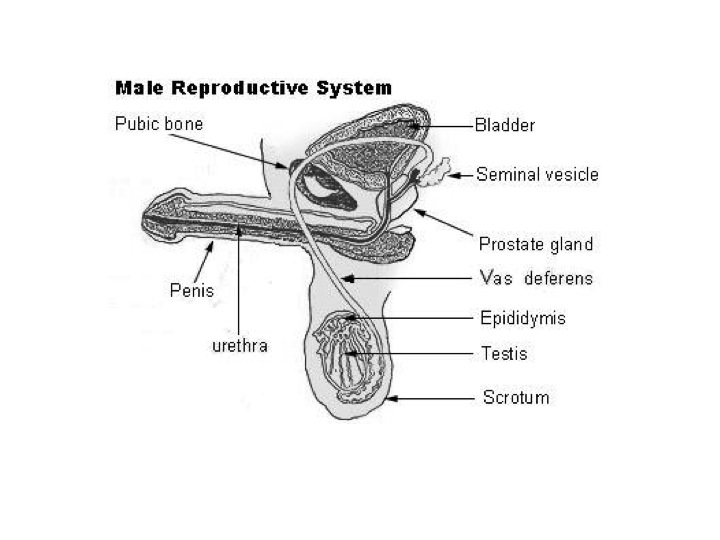 diagram of prostate and bladder
