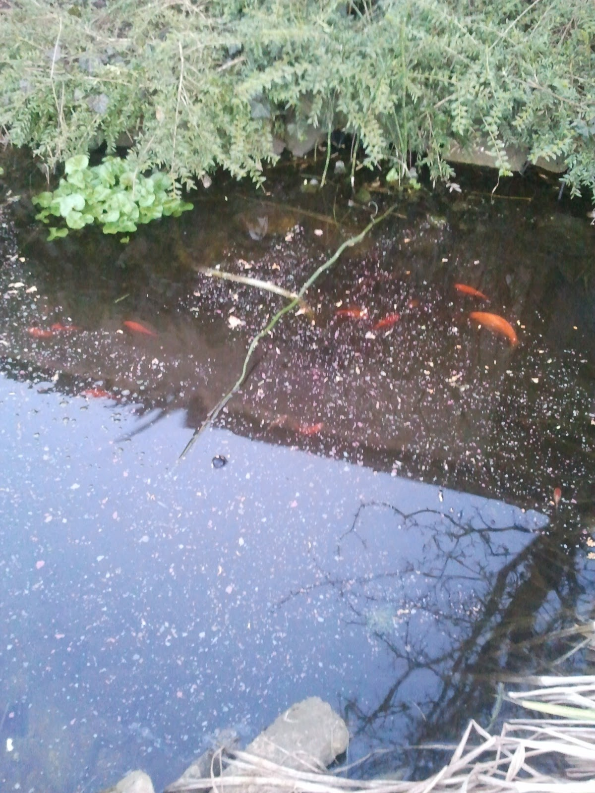 Fischsuppe im Gartenteich