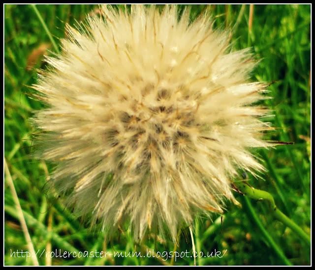 Hieracium seed head