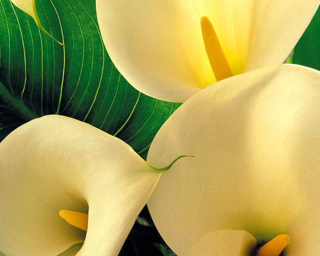 picture of calla lily flower Photo