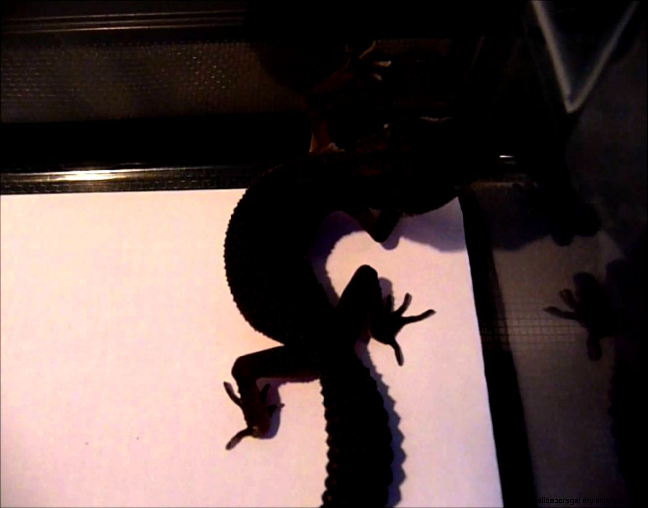 A Closer Look at my Black Leopard Gecko   YouTube