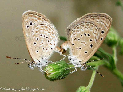 Pale Grass Blue Butterfly