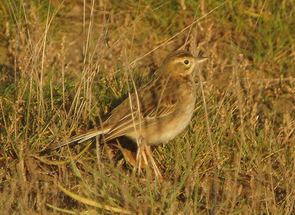RICHARDS PIPIT-PARKGATE-20TH DECEMBER 2008