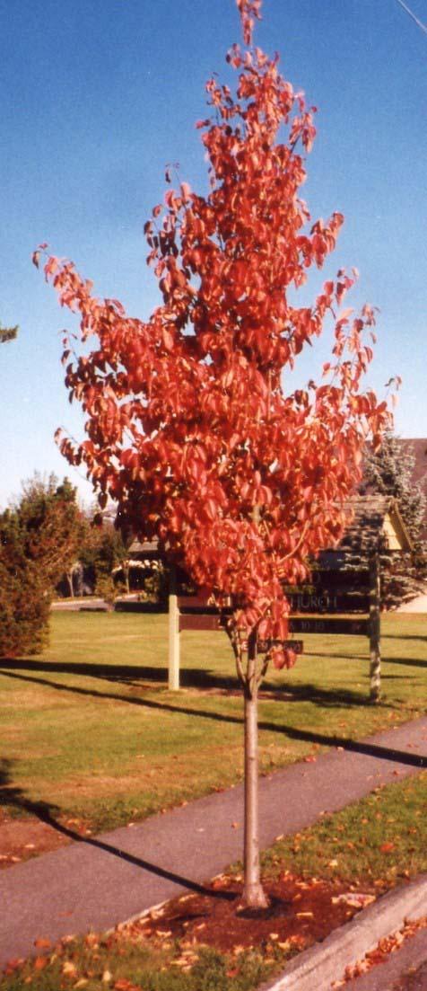 Arte y jardiner a rboles ornamentales - Arboles para jardines pequenos ...