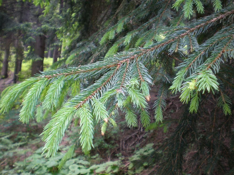 Piccolo atlante degli alberi di montagna  AlteVite