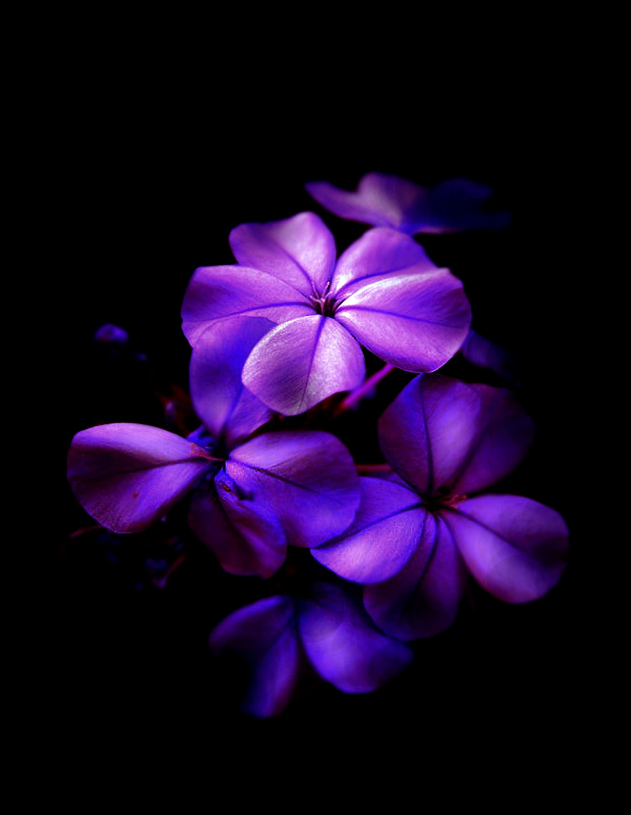 Gallery For > Black And Purple Flower Wallpaper
