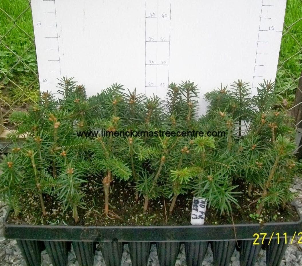 Christmas Tree Transplants For Sale