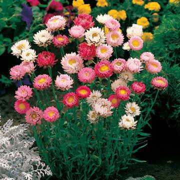 Paper Daisy Best Mix (Strawflower)