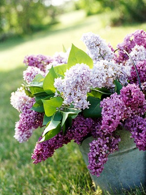 lilacs in bucket