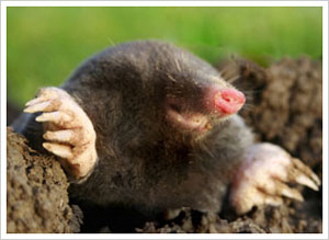 moles in the lawn