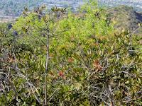 Nevins's Barberry (Berberis nevinii) on Toyon Trail