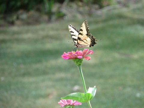 One Of My Favorite Relaxation Pastimes Is Growing, Then Appreciating Our Butterfly  Garden Around Our Patio. If Youu0027ve Ever Watched Butterflies Cavort In The  ...