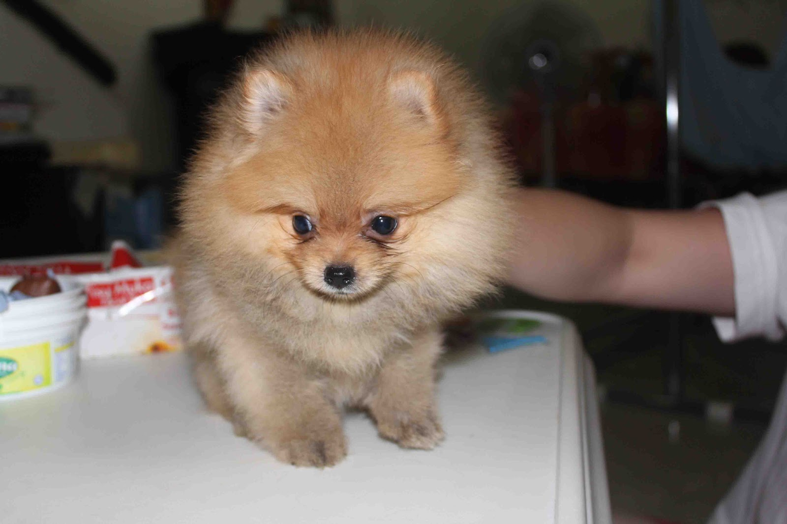 Light Brown Pomeranian Puppies