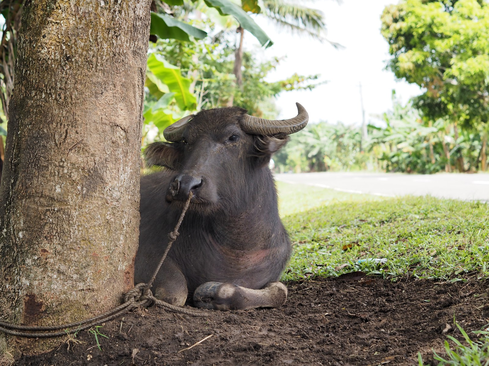 Buffalo, Philippines