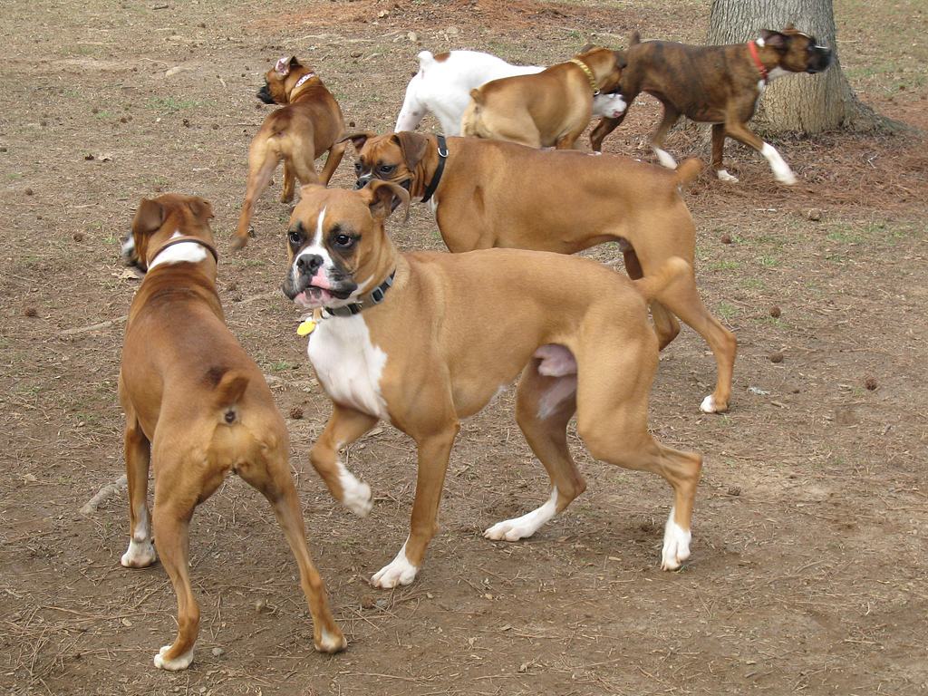 Cute Dogs: Boxer dog
