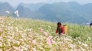 Festival circuit triangle flower in Ha Giang