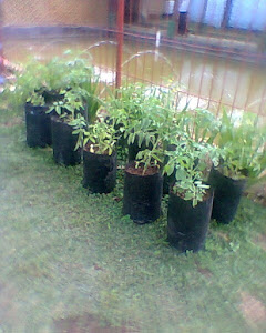 uji coba tanaman tomat di pekarangan