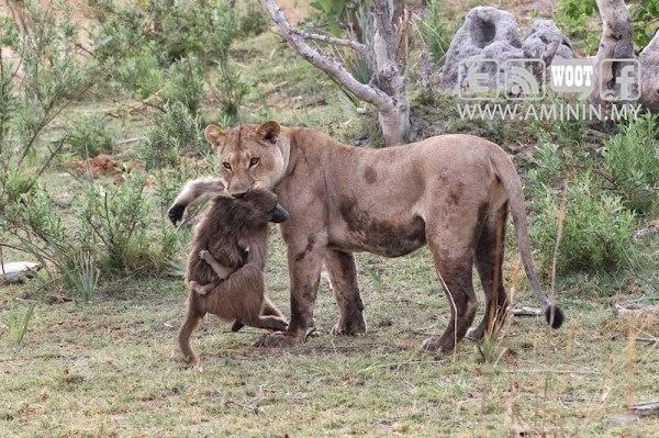 harimau dan babun