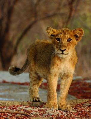 Asian lions cute cub