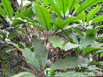 Cây lá đắng là cây thuốc chữa đau sâu răng