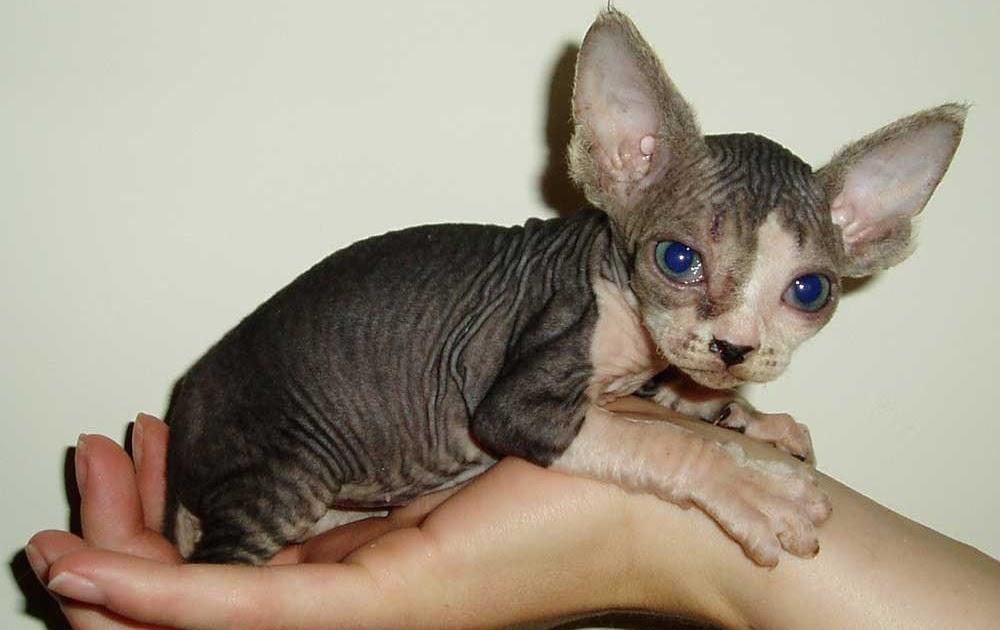 Omegaart Sphynx Kucing Lucu Unik Dan Termahal Di Dunia