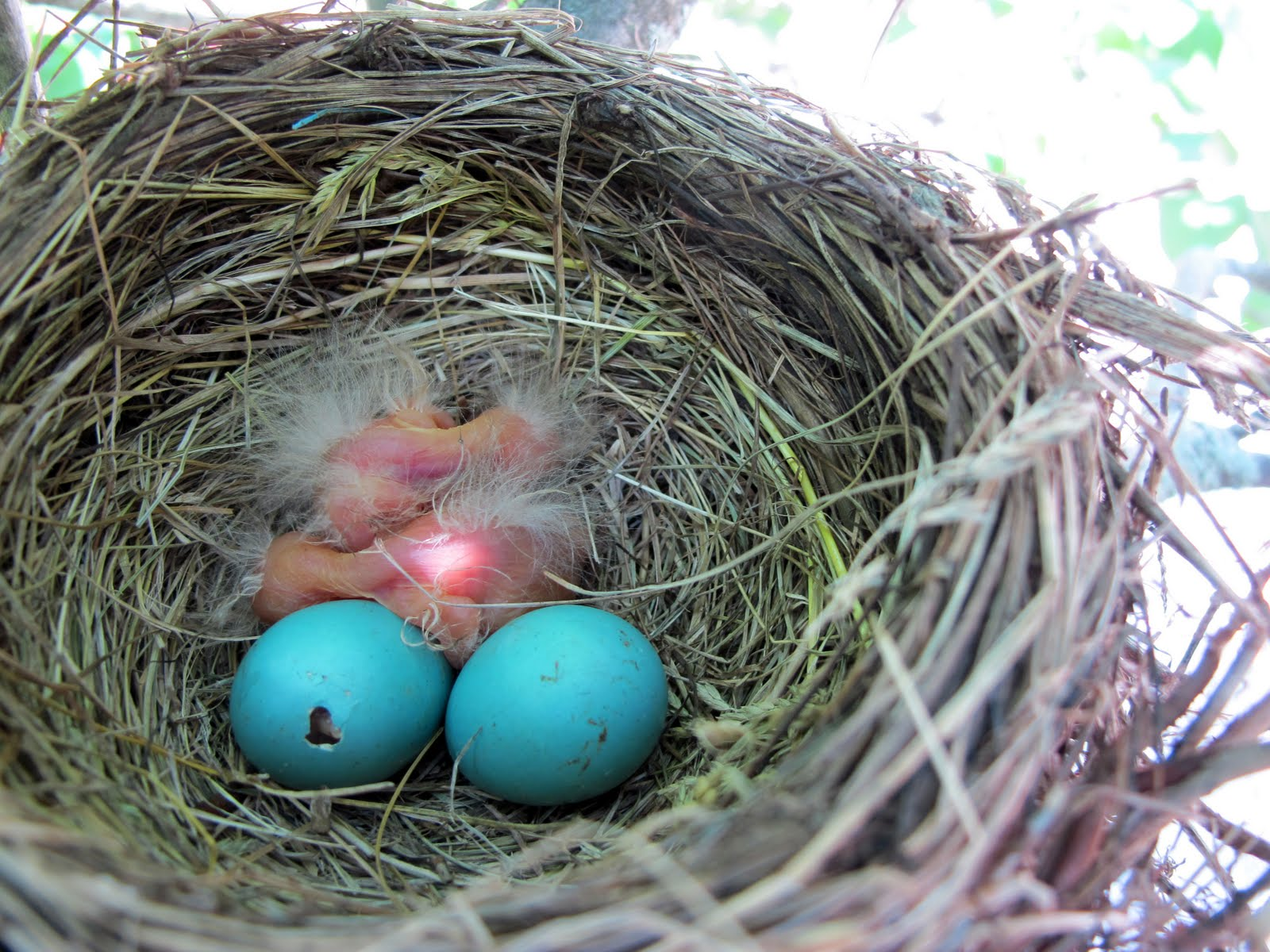 American Robin Eggs - journeynorth.org