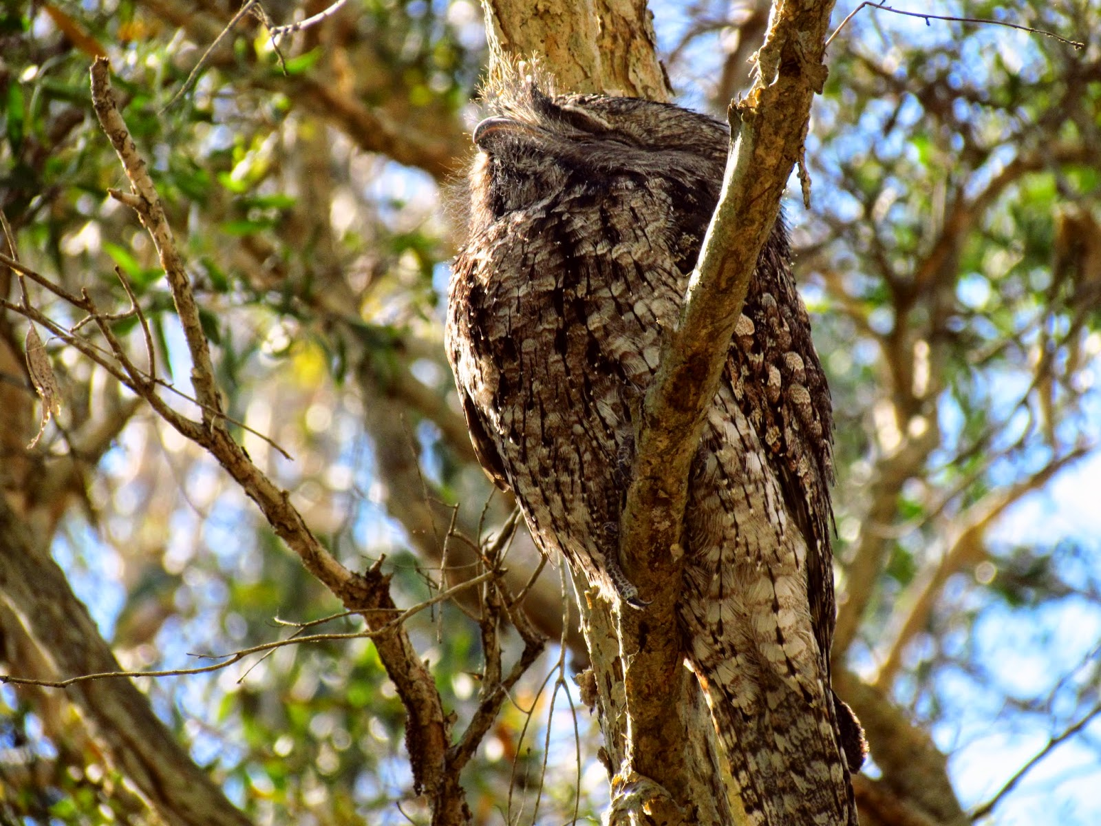 K And S Galway Toowoomba  Tawny Frogmouth  photo F
