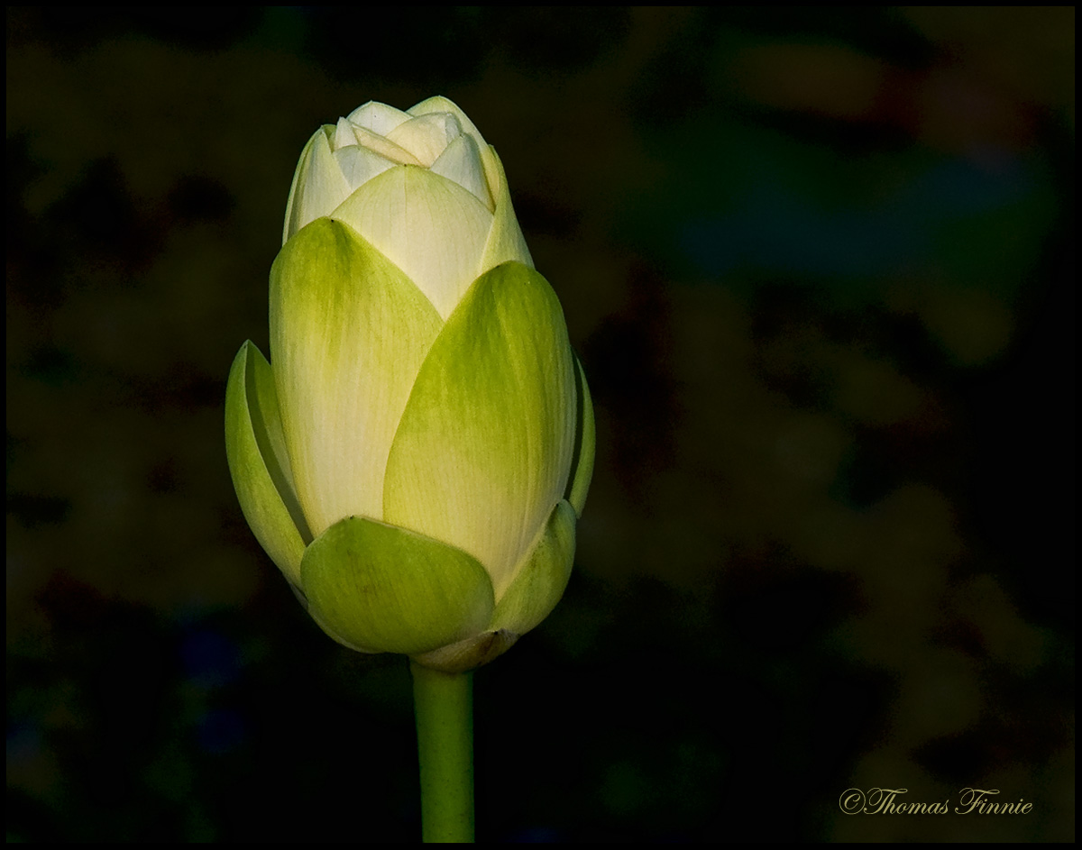 Thomas finnie photography the life cycle of the lotus flower the life cycle of the lotus flower izmirmasajfo