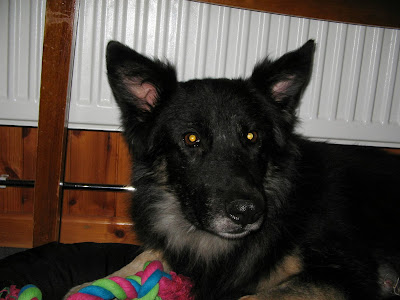 German sheperd/collie cross