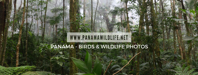 Panama Birds & Wildlife Photos' Blog