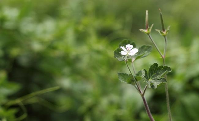 Geranium Sibiricum Flowers
