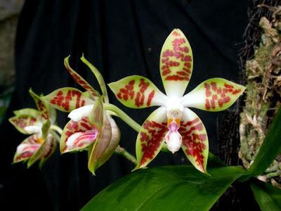 Phalaenopsis sumatrana (anggrek bulan sumatera)