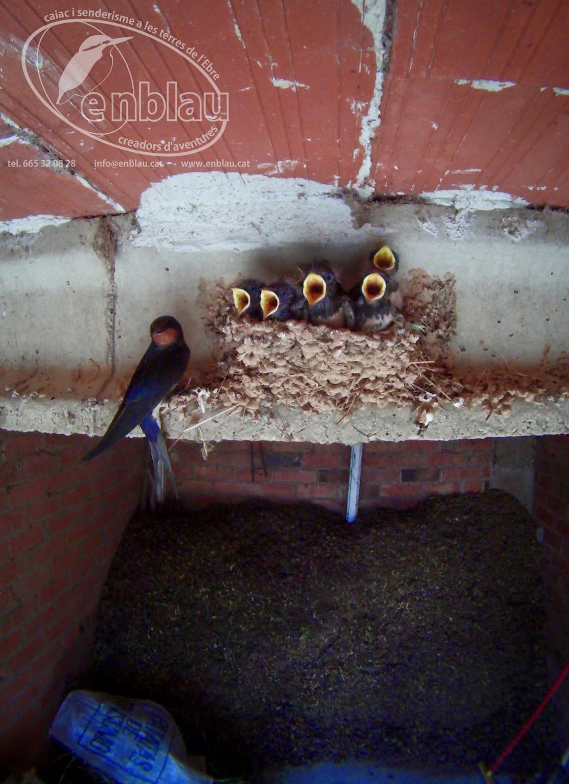 una oreneta comú descansant un moment mentre les cries l'hi demanen menjar