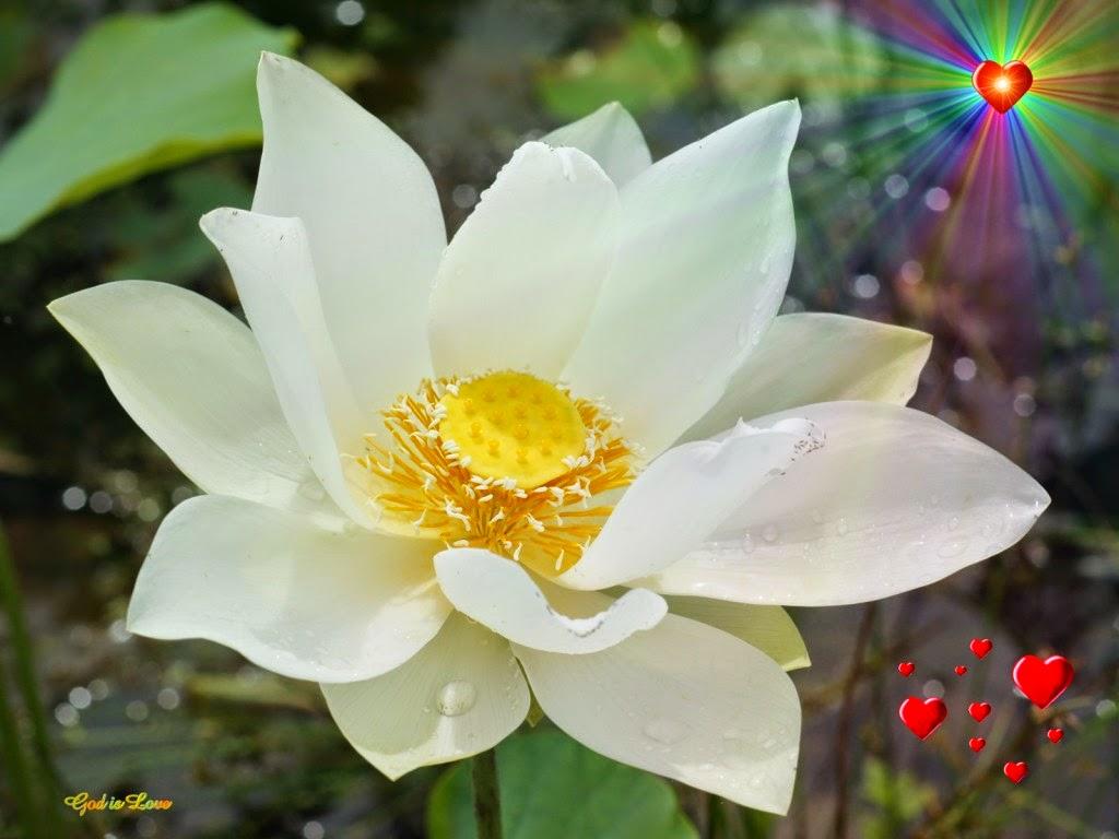 hình nền hoa sen đẹp tinh khôi