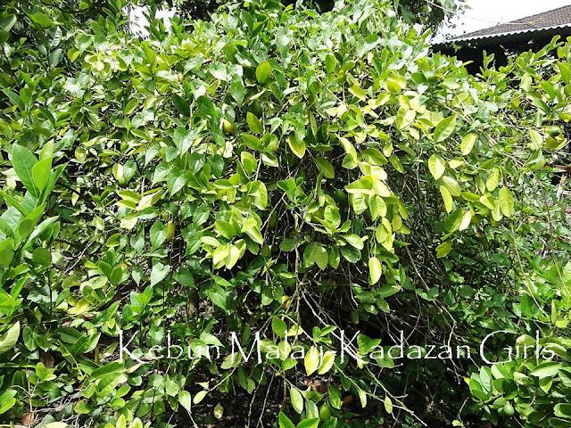 Kebun Malay-Kadazan Girls: Lemon Tree And March Mains