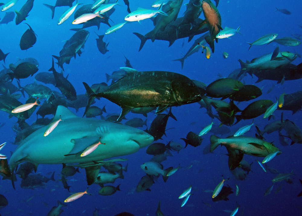 Animals of the world bull shark for Are sharks fish