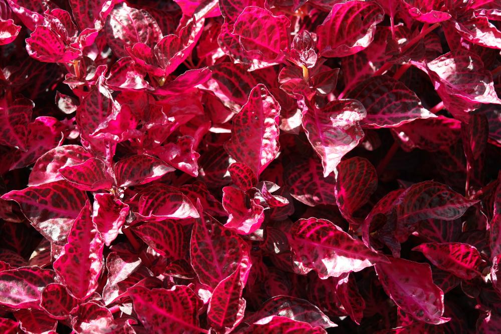 David Welch Winter Gardens - Duthie Park, Aberdeen. Pink leaves.