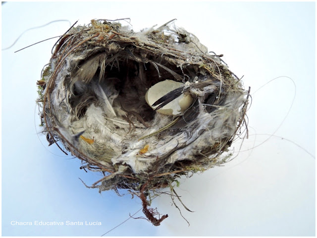 Pequeño nido abandonado - Chacra Educativa Santa Lucía